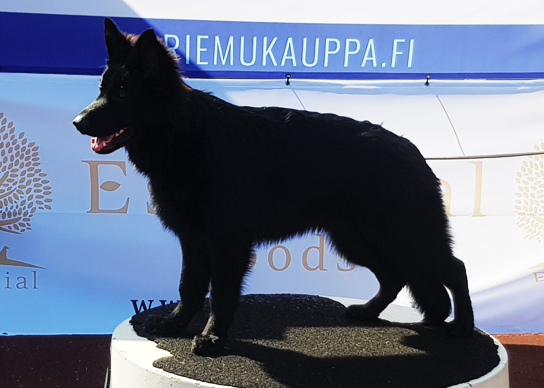 Dosmarin Machete - musta ja pitkäkarvainen voittaja